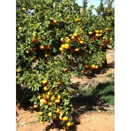 Mandarinas Tardía 6 kilos