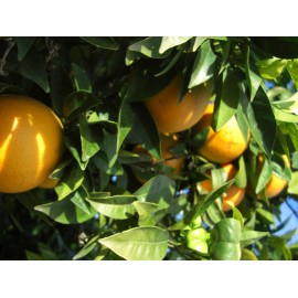Oranges Washington 6 Kg