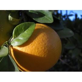 Oranges Navel Lane Late 6 Kg