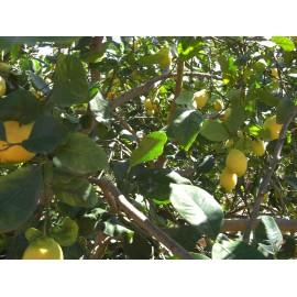 Lemons 6 Kg